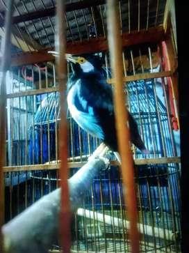 Burung jaksur jawa gacor bisa Kopiko kopiko
