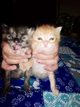 Cat baby kittens persion