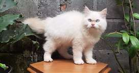 kucing persia medium jantan redpoint lucu