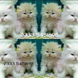 Vip DeCent PeRsian kids available