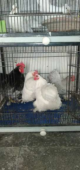 bantam Hens beautiful white colour females and male