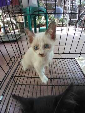 Kucing persian mixdom mata biru seal point