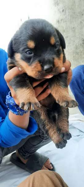 Rottweiler femail dog healthy puppy