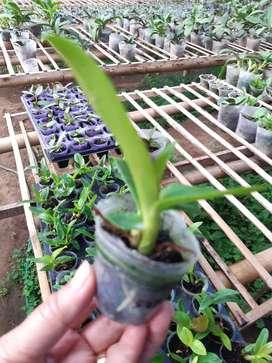 bibit seedling anggrek dendro