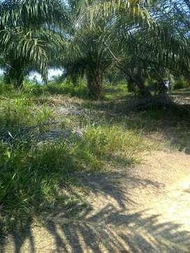 Kebun sawit#Musa#40 Ha, Koto Tuo 13 Koto kampar, SKGR