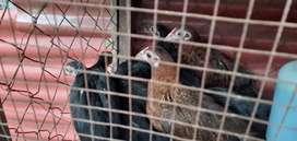 Bakalan ayam soper