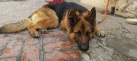 German shepherd double coart female