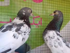 Pure Taddy pigeon breeder pair for sale