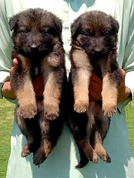 Garman shepherd long coat piar male and female for sale