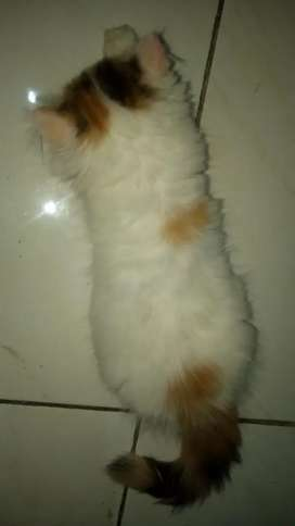 Kucing kitten persia Flatnose pesek calico betina