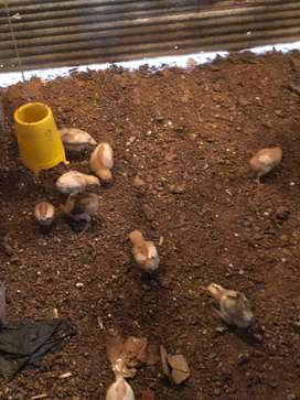 Di jual ayam petelur