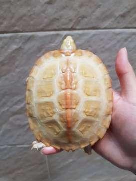 Kura kura temple albino