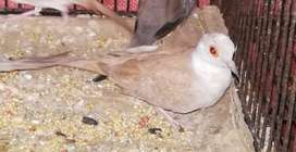 Red pied, silver, red