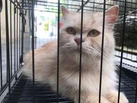Kucing persia beserta kandang
