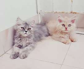 Good quality Persian kittens