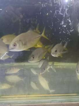 Baby ikan Giant Travelly (GT), fresh water