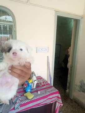 Meltesse and jackrussel cross breed