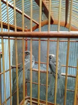 Jual burung cocak rw asli sumatra bodi super