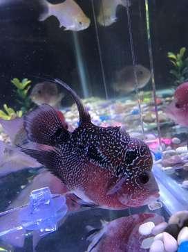 Ikan LOUHAN SRD/Kamfa JUAL MURAH