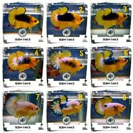 Ikan cupang hias yellow grade
