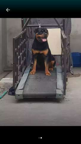 Rottweiller male available for stud pedigree heavy bone structure