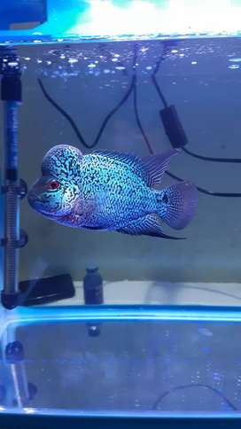 Flowerhorn fish only