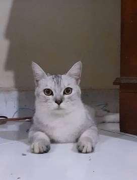 Kucing indukan exotic short hair mix dom