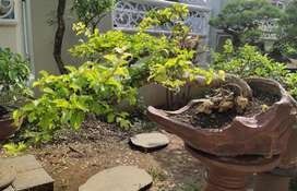 Tanaman hias /bonsai rukem