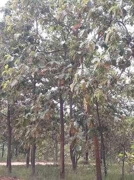 Teak tree farm