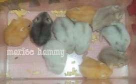 Hamster winter white pearl sehat 2 bulan