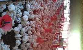 4 chicken farm and 9.5 acre rubber estate for sale