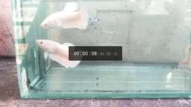 Ikan Cupang plakat WP