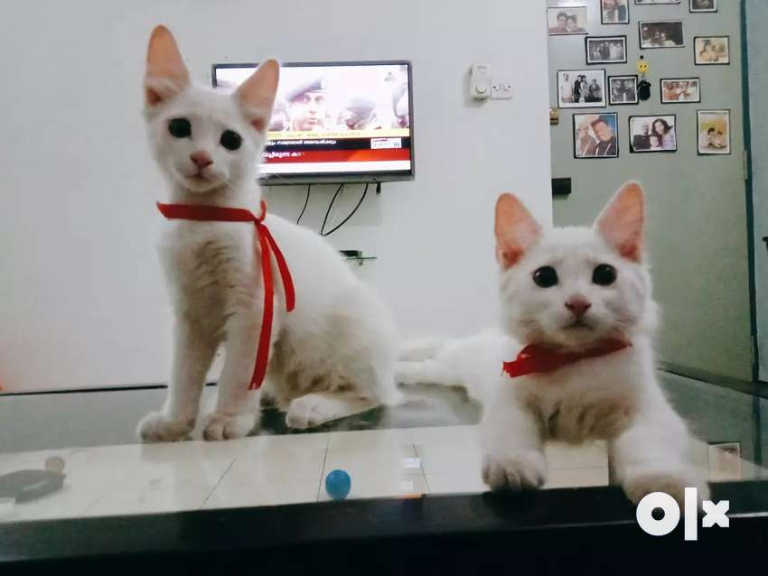 Pure White Semi Persian kittens 0