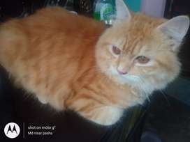 Doll face male persian