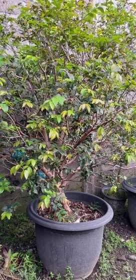 Jual tanaman Anggur Brazil tambulapot sdh ada buah nya