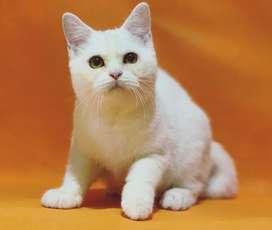 Kucing British Shorthair BSH Jantan
