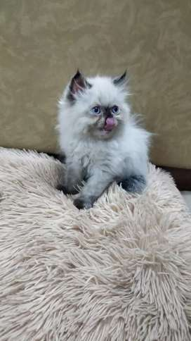 Pure Persian breed kittens are available.. with total documents.