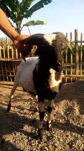 Jual Domba Untuk Akikah Aqiqah  bersahaja