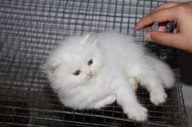 Exquisite Persian Kittens and Cats are available for Sale