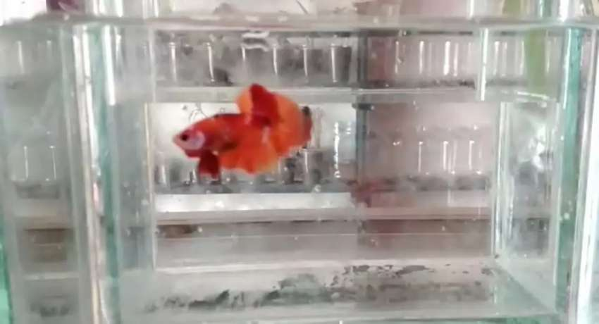 Nemo Galaxy dan Koi Multiwarna 0