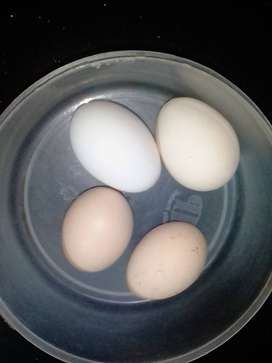 Desi chicken eggs(refrigerated and fertile)