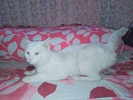 Kucing persia jantan bulu pendek warna putih