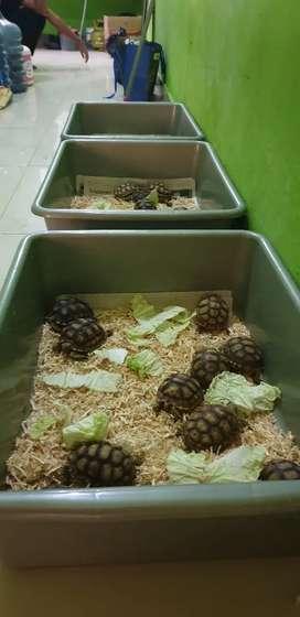 Kura kura Sulcata Tortoise