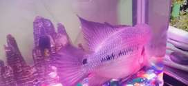 Big size...Male Flowerhorn Fish