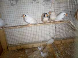 10 pic zebra Finch's for sale gender not confirm