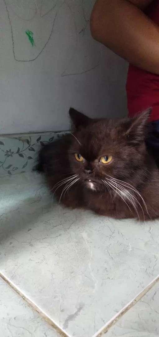 Kucing Persia betina flatnose