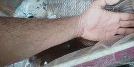 Giant gaurami urgent sale fr tank clearance