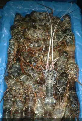 Lobster laut frozen size 100-200up