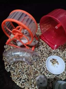 Hamster WW Golden & Pearl
