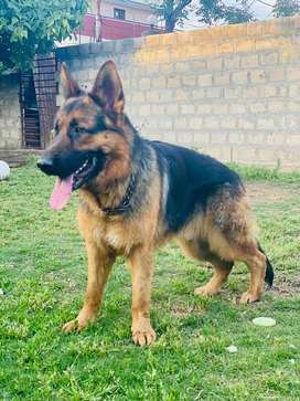 German Shepherd Dog full traind